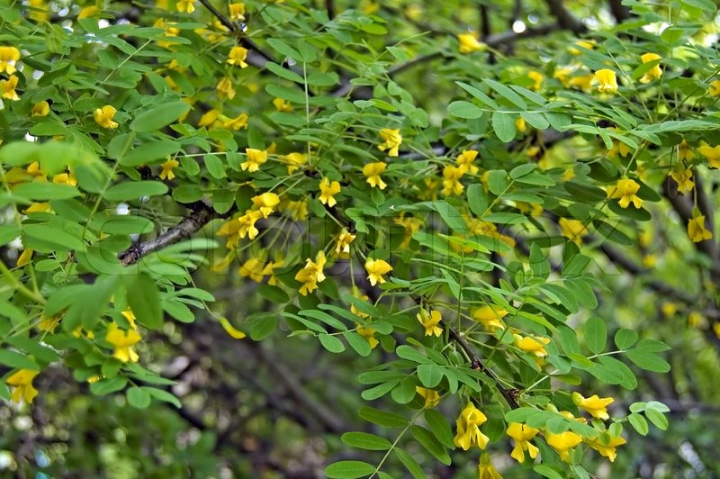 Flowering acacia with yellow flowers and green leaves stock photo flowering acacia with yellow flowers and green leaves stock photo colourbox mightylinksfo