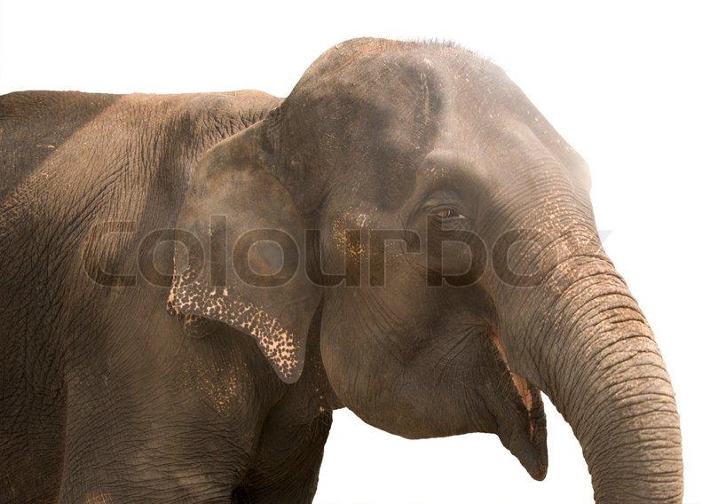 Smiling elephant isolated on white | Stock Photo | Colourbox