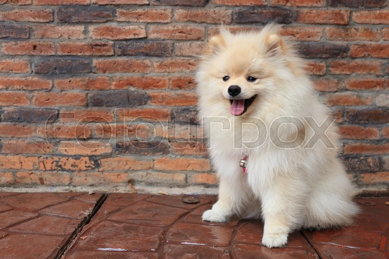 Pomeranian puppy dog, cute pet, stock photo