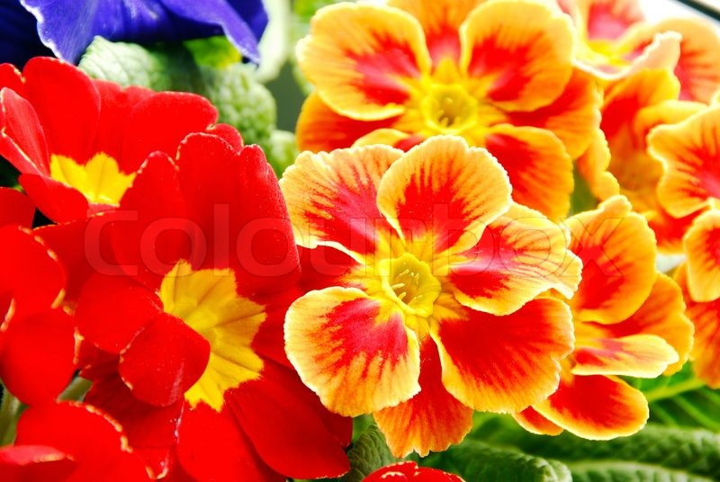 Blooming Spring Bright Red Primrose Stock Photo Colourbox