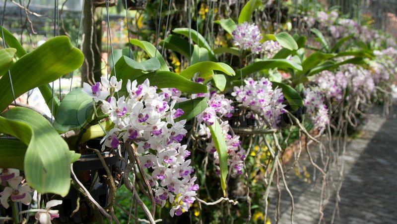 Orchideen Wachsen Im Topf Hing Der Luft Stockfoto