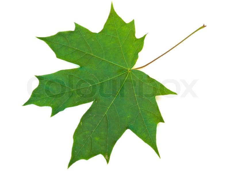 single green maple leaf against the white background stock photo