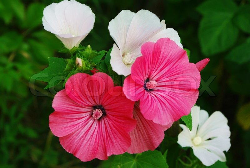 Pink And White Malva Flovers Blossoming Stock Photo Colourbox