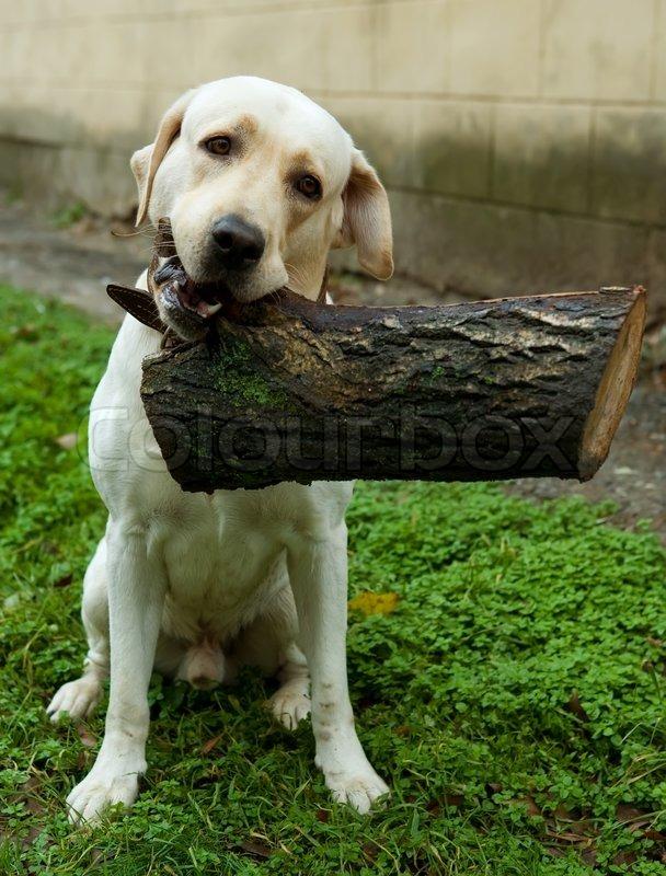 Portrait Of Gold Labrador Retriever Stock Photo Colourbox