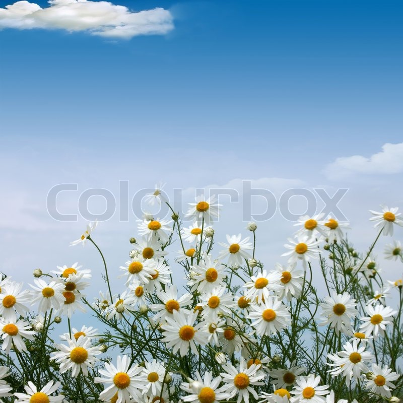 Stock image of 'Camomiles field against the blue sky'