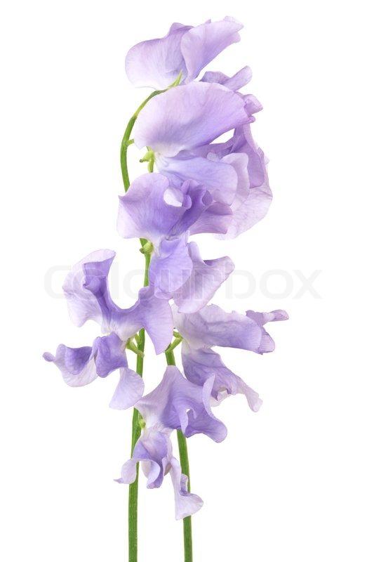 Beautiful purple flower on a white background stock photo colourbox beautiful purple flower on a white background stock photo mightylinksfo Choice Image
