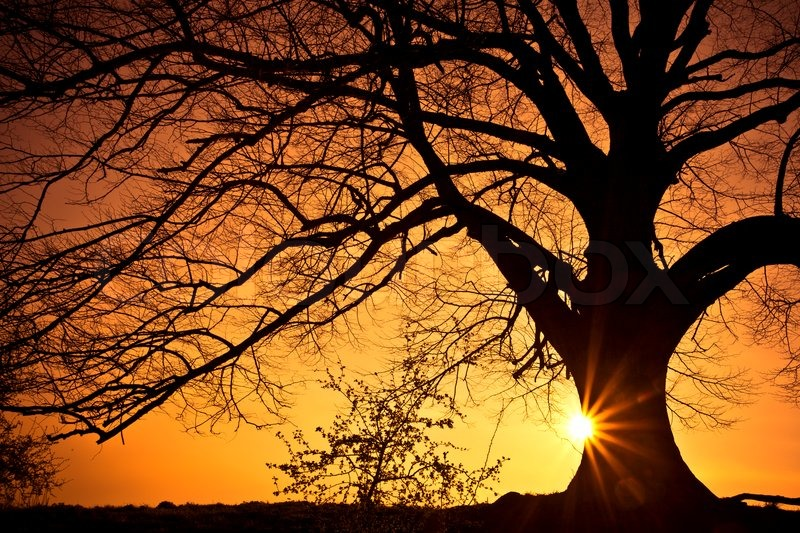 silhouette of a willow tree with the sun behind the tree stock