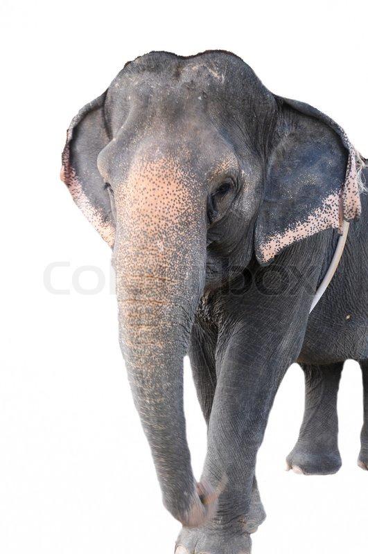 Asiatischer Elefant - Elephas maximus (40 Jahre) vor einem weißen ...