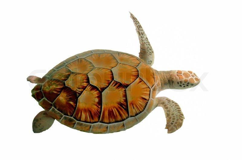 turtle white background - photo #16