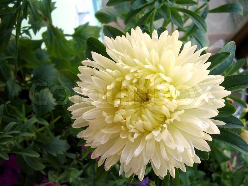 white aster flower  flower border, Beautiful flower