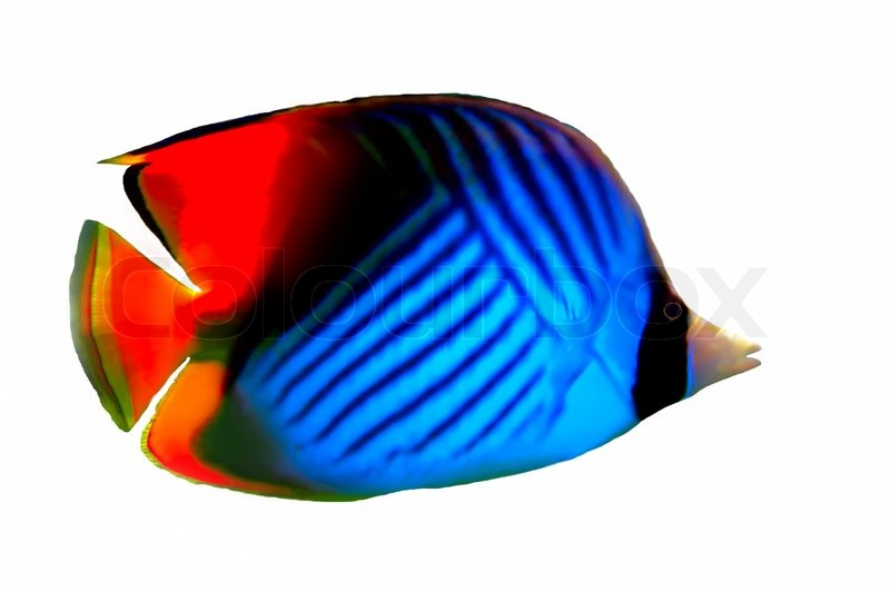 Stock image of 'Threadfin butterflyfish isolated on a white background ...: colourbox.com/image/threadfin-butterflyfish-isolated-on-a-white...