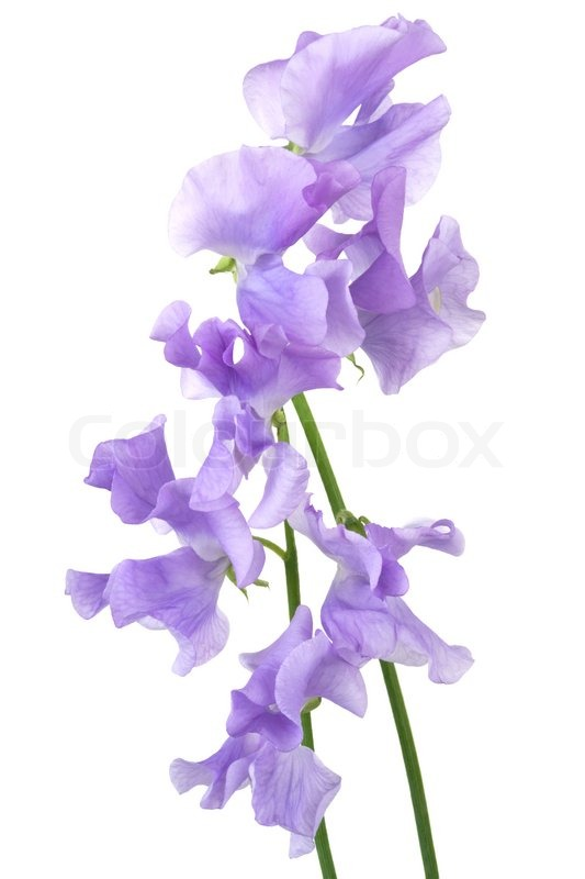 Beautiful blue flower on a white background stock photo colourbox mightylinksfo