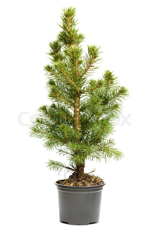 small real undecorated bare christmas tree in a pot isolated on white background stock photo colourbox - Small Live Christmas Trees In Pots