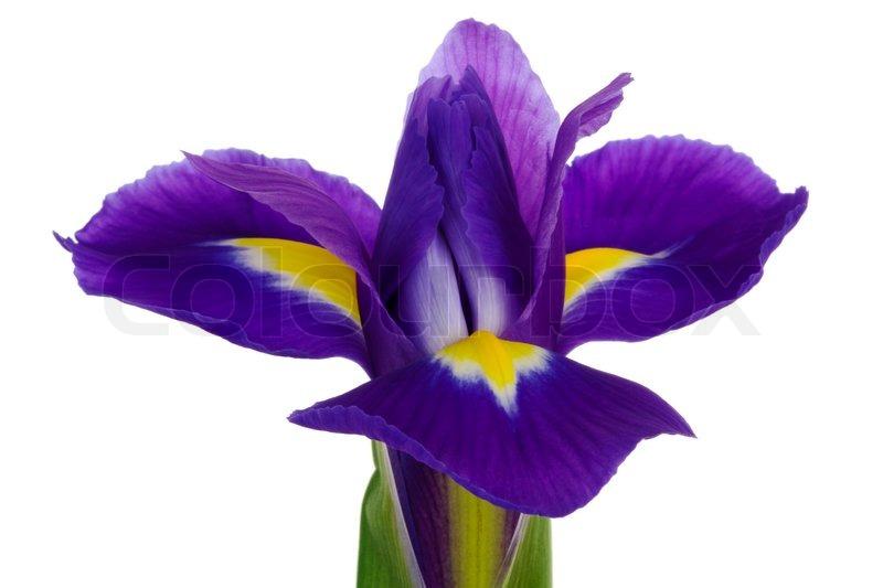 Schöne blaue Blume auf einem weißen Hintergrund | Stockfoto | Colourbox