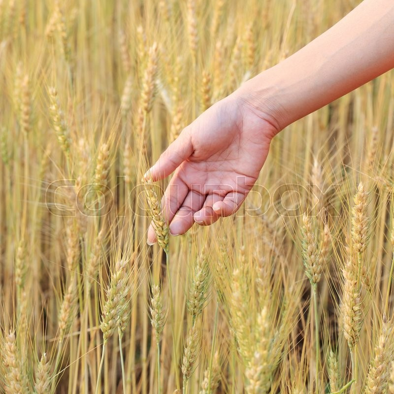 Hand woman touch barley field of agriculture rural scene, stock photo
