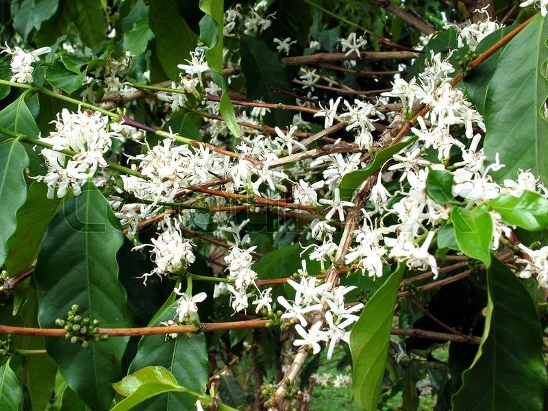 Coffee Flowers from Coffee Estate Karnataka, stock photo