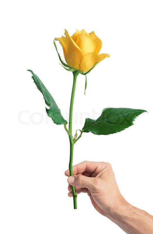 Yellow rose in mans hand isolated on white background stock photo yellow rose in mans hand isolated on white background stock photo colourbox mightylinksfo