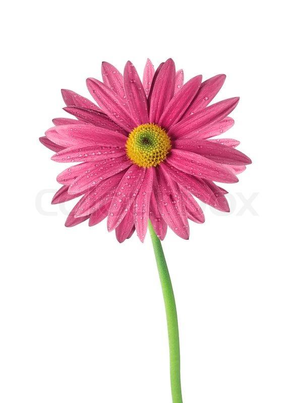 sch ne rosa blume chrysantheme isoliert auf wei em. Black Bedroom Furniture Sets. Home Design Ideas