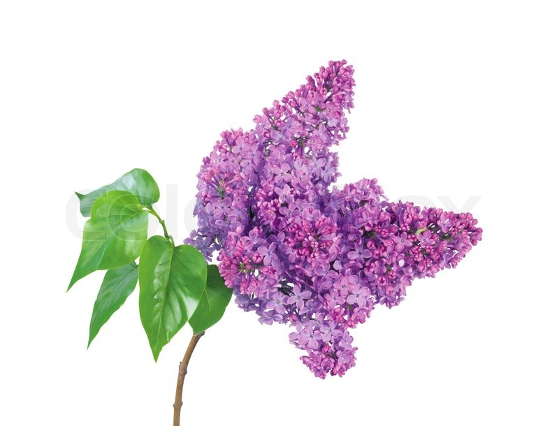 Beautiful Lilac Branch Isolated On White Background