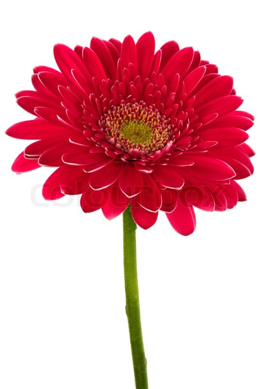 Beautiful brightly red flower on a white background stock photo beautiful brightly red flower on a white background stock photo colourbox mightylinksfo
