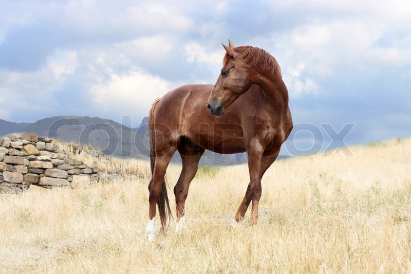 Nice Brown Horse On Nature Background ...