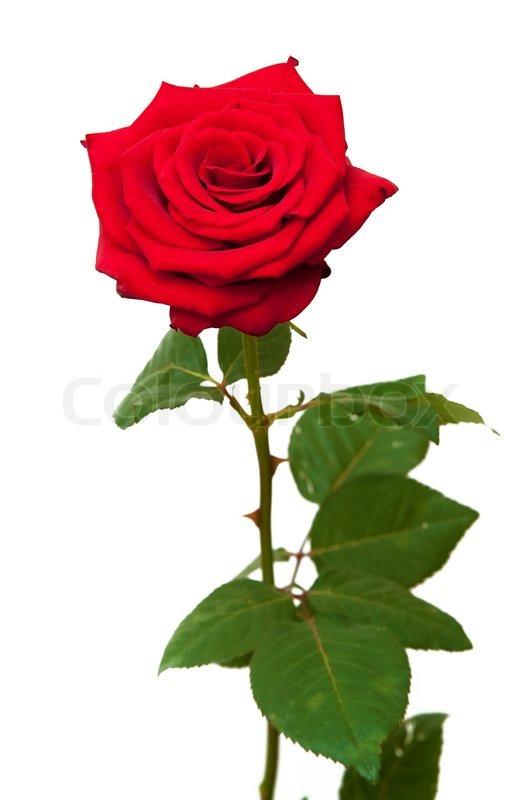 Одна роза фото