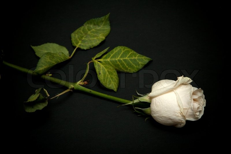 blanching rose with green stem on black background stock