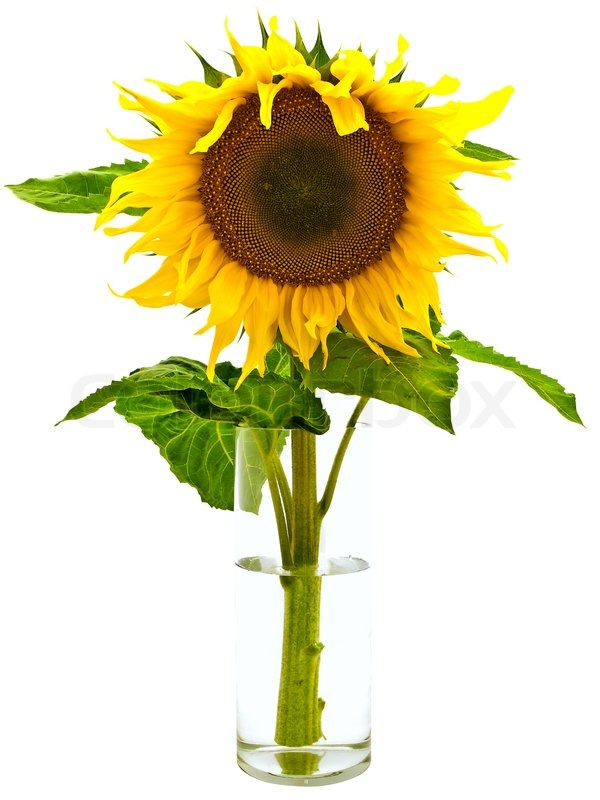 Yellow Sunflower In Vase With Water Over White Background
