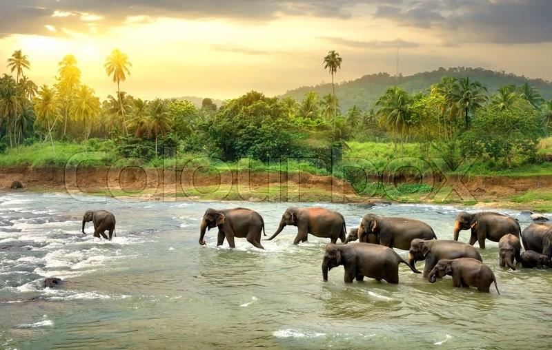 Herd of elefants walking in a jungle river, stock photo