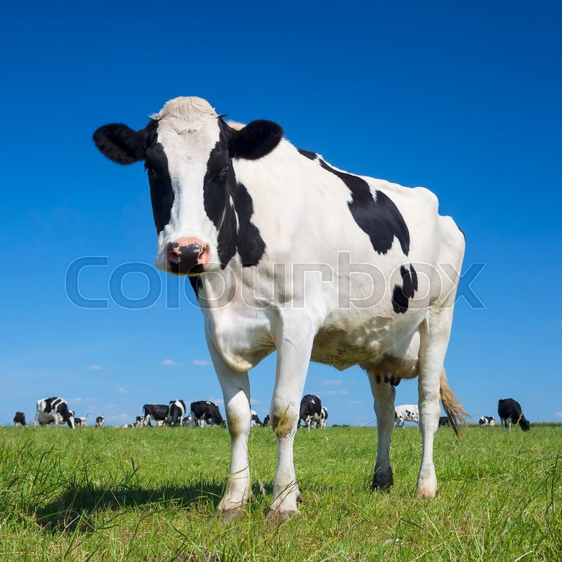 Portrait of black and white cow with blue sky, stock photo