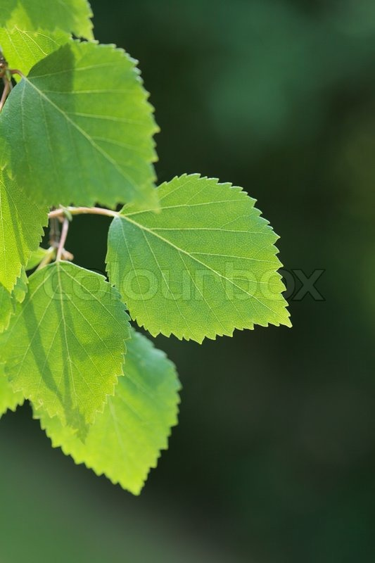 Birch tree branch with a leaf in closeup | Stock Photo ...