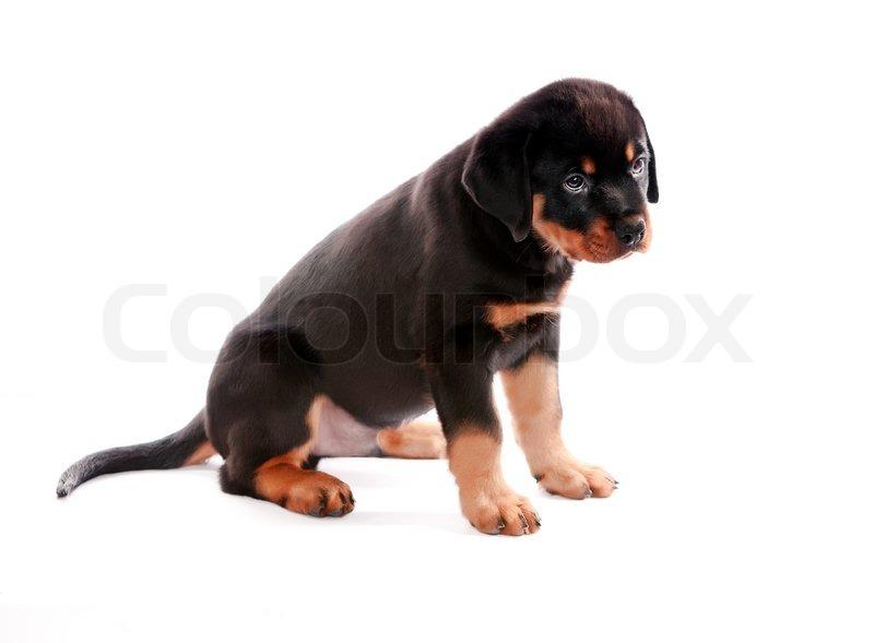 Populære Rottweiler hvalp på en hvid baggrund.   Stock foto   Colourbox QV-26