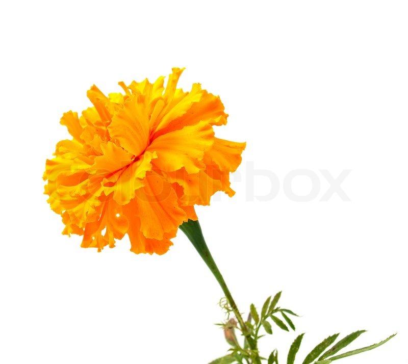 Marigold flower on a white background stock photo colourbox mightylinksfo