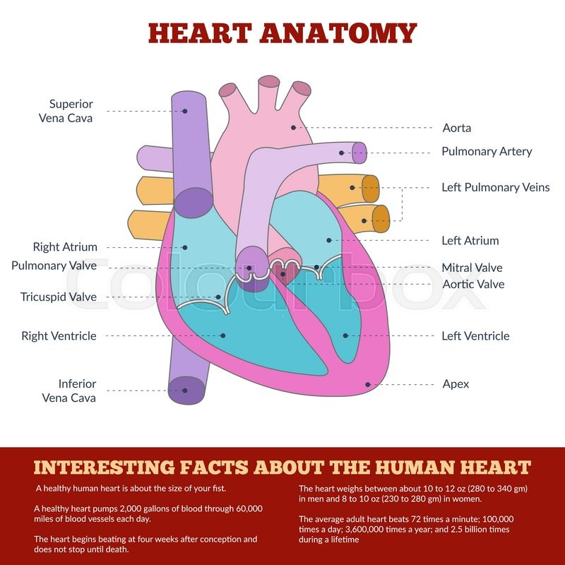 Diagram of human heart anatomy and circulatory system circulation diagram of human heart anatomy and circulatory system circulation of blood through the heart for basic medical education clinics and schools ccuart Choice Image