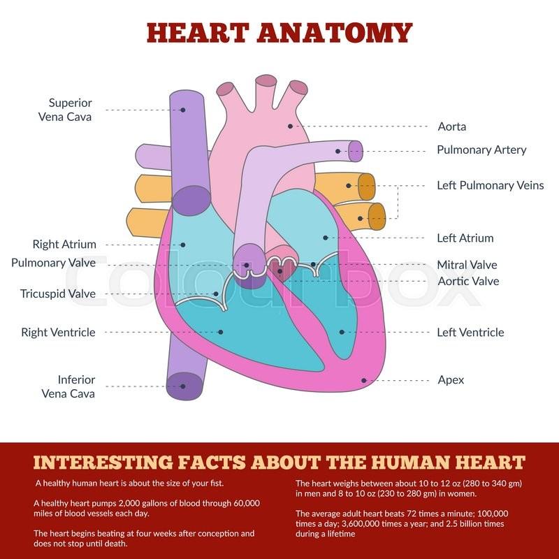Diagram of human heart anatomy and circulatory system ...