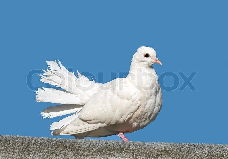 white dove stock photo colourbox
