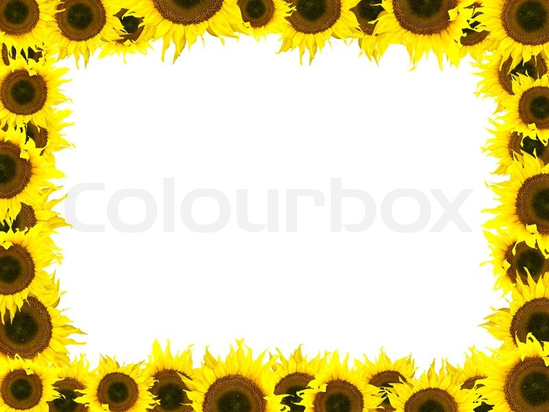 Photo of the yellow sunflower frame against the white background ...