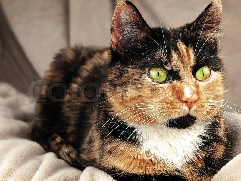 Katze mit grünen Augen über die beige | Stockfoto | Colourbox