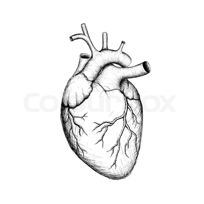 human heart  internal organs  anatomy  stock vector image