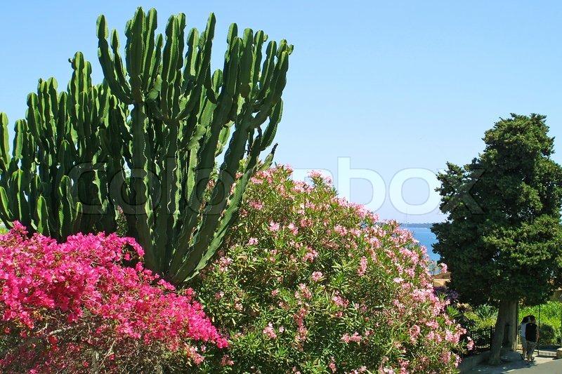 b sche von bougainvillea oleander und kakteen in cannes frankreich stockfoto colourbox. Black Bedroom Furniture Sets. Home Design Ideas