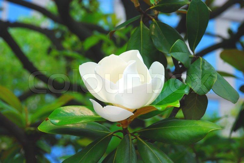 Beautiful flower of magnolia in spring season stock photo colourbox beautiful flower of magnolia in spring season stock photo mightylinksfo Gallery