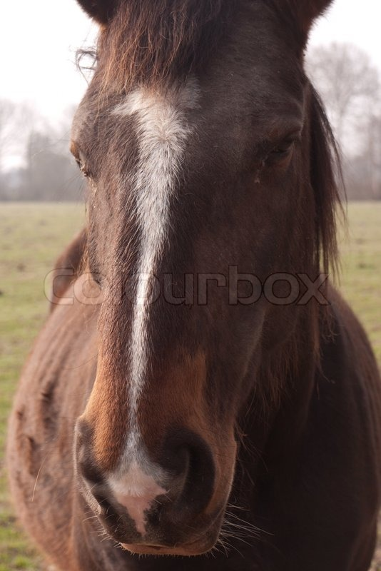 Stock image of 'Frontal view of the head of a horse'