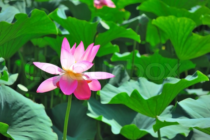 Beautiful Pink Lotus Is A Water Flora Stock Photo