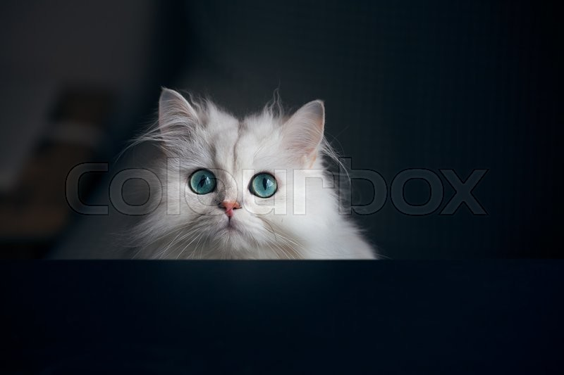 White cat chinchilla on a dark background. Fluffy cute pet animal with bright green eyes, stock photo