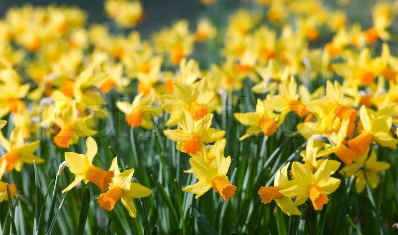 Udendørs skudt af gule påskeliljer i et pænt fuld blomsterbed ...