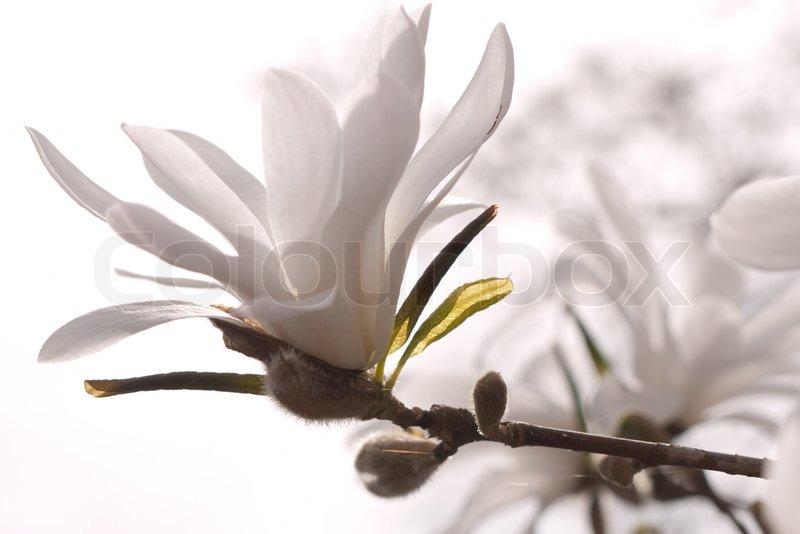 wei e magnolie auf einem ast stockfoto colourbox. Black Bedroom Furniture Sets. Home Design Ideas