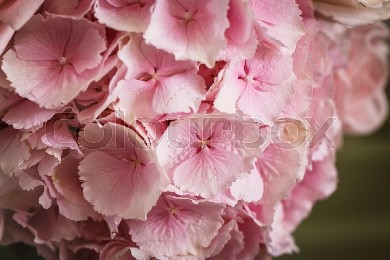 Close up view of pink beautiful flower hydrangea, stock photo