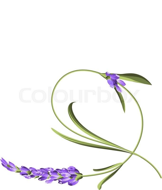 bend single flower awesome lavender flower bend over white rh colourbox com lavender flower vector free Lavender Flower Background