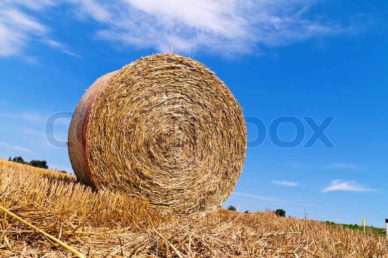 A field with straw bales after harvest in agriculture, stock photo
