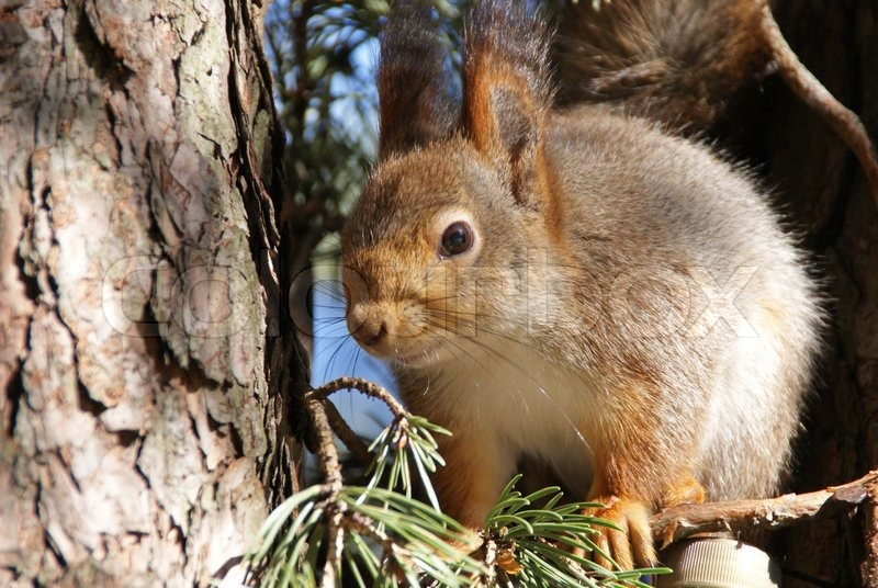 The small amusing fluffy animal lives in coniferous forests ...